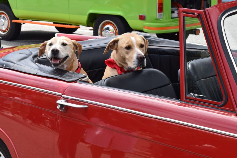 Monterey Auto Week: The unofficial, super cool, canine greeters at Concours on the Avenue.